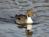Pintail  Male in Breeding Plumage  UK