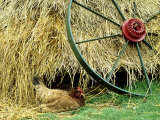 Old Farm Wheel and Hen  Orkney Islands  Scotland