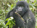 Mountain Gorilla  Female Eating  Rwanda