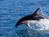 Dusky Dolphin  Leaping  New Zealand
