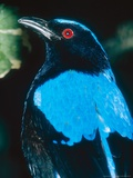 Fairy Bluebird  Indonesia