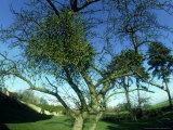 Mistletoe  Viscum Album