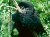 Mountain Gorilla  Wrapped Around Branch  Rwanda