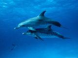Atlantic Spotted Dolphins  Bahamas  Caribbean