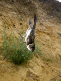 Sand Martin in Mist Net in Front of Nest Holes  UK