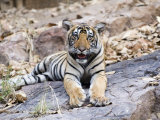 Bengal Tiger  10 Month Old Cub  India