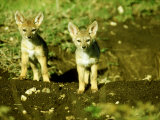 Black-Backed Jackal  Pups  Masai Mara  Kenya