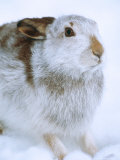 Mountain Hare or Blue Hare  Shows Coat Colour in Late January  Monadhliath Mountains  UK