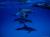 Atlantic Spotted Dolphins  Group Swimming  Bahamas