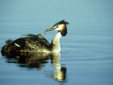 Great Crested Grebe  Carrying Chick  Gloscestershire