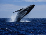 Humpback Whale  Breaching  Sea of Cortez