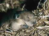 Pika  Baby in Nest  USA