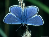 Common Blue  Male  Essex