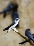 Sand Martin  Fledged Juvenile  UK