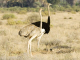 Ostrich  Male and Female with Chicks  Kenya