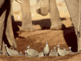 Helmeted Guineafowl at Waterhole with Elephants  Botswana