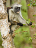 Zanzibar Red Colobus  Adult Feeding from Tree  Zanzibar