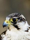 Gyr Falcon  Close up Portrait  UK