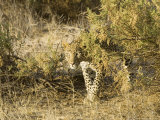 Leopard  Young Female Stalking  Kenya