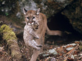 Mountain Lion  Female and Cub  USA