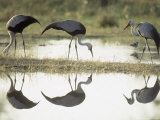 Wattled Crane  Group Feeding in Shallow Pools Formed by Khwai River  Botswana