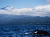Humpback Whale  About to Dive  Azores