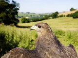 Common Buzzard  Adult Overlooking Countryside  UK