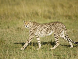 Cheetah  Female Striding  Maasai Mara  Kenya
