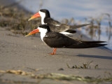 African Skimmer  Pair  Bostwana