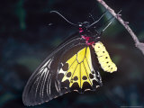Common Birdwing Butterfly  Troides Helena