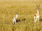 Thomsons Gazelle  Female with Youngster  Kenya