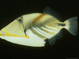 Black-Barred Triggerfish  Rhinecanthus Aculeatus