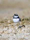 Little Ringed Plover  Male  UK