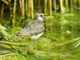 Lapwing  Adult Wading  UK