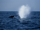 Blue Whale  Surfacing  Azores  Portu