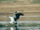 White-Bellied Sea Eagle  Gal Oya National Park  Sri Lanka