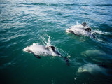 Hectors Dolphins  Porpoising  New Zealand