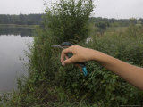 Kingfisher  Ringed Bird Being Released  UK