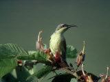 Purple Sunbird  Gal Oya National Park  Sri Lanka