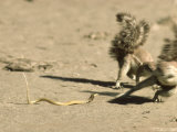 Ground Squirrel  Avoiding Strike from Deadly Juvenile Cape Cobra  South Africa