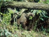 Javan Rhinoceros  Ujung Kulon  Indonesia