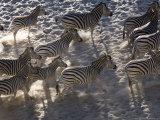 Burchells Zebra  Group Running  Botswana