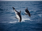 Dusky Dolphin  Jumping  New Zealand
