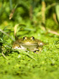 Marsh Frog  Adult  UK