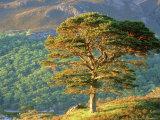 Scots Pine Tree  Ross-Shire  Scotland