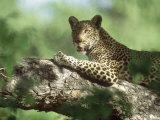 Leopard  Resting in Tree During Heat of the Day  Botswana