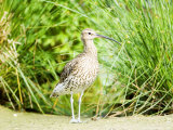 Curlew  Adult  UK
