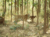 Tiger  Tigress with Kill  Orissa  India