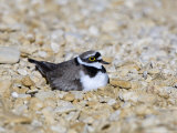 Little Ringed Plover  Male Incubating  UK