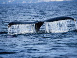 Humpback Whale  Raising Flukes  Mexico